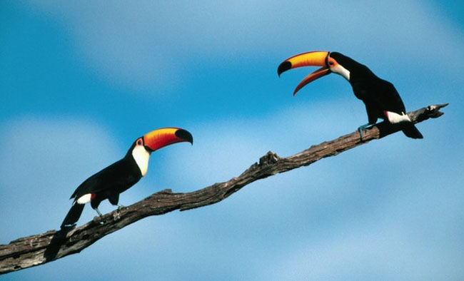 toucans-talking