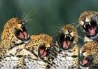 yaguars-yawning