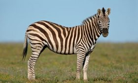 Zebra Company or Unicorn Company